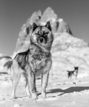 Perro de trineo - Perros de trineo aparecieron hace 9.500 años en Siberia