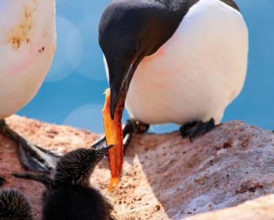270041 web - Aves Araos de pico ancho del Ártico no están preparadas para combatir la crisis climática