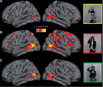 Patrones de actividad cerebral ante un robot, su esqueleto y un humano.