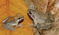 'Limnonectes larvaepartus'. / Iskandar et al.