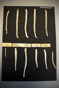 Fósiles encontrados. / CSIC.