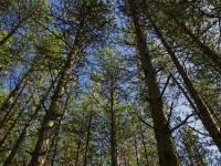 Pinus nigra. / Jacinta Lluch Valero