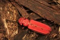 Mariposas, escarabajos y libélulas europeos van camino de la extinción