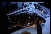¿Cómo reducir las capturas accidentales de la tortuga boba?