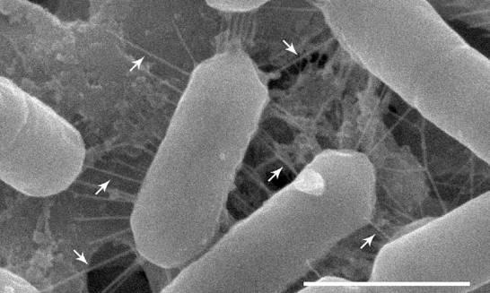 Dentro-de-tu-nariz-viven-lactobacilos-co