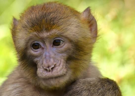 Los-macacos-generan-inmunidad-contra-la-