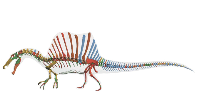 Reconstrucción digital del esqueleto de Spinosaurus aegyptiacus. /  Tyler Keillor, Lauren Conroy y Erin Fitzgerald.