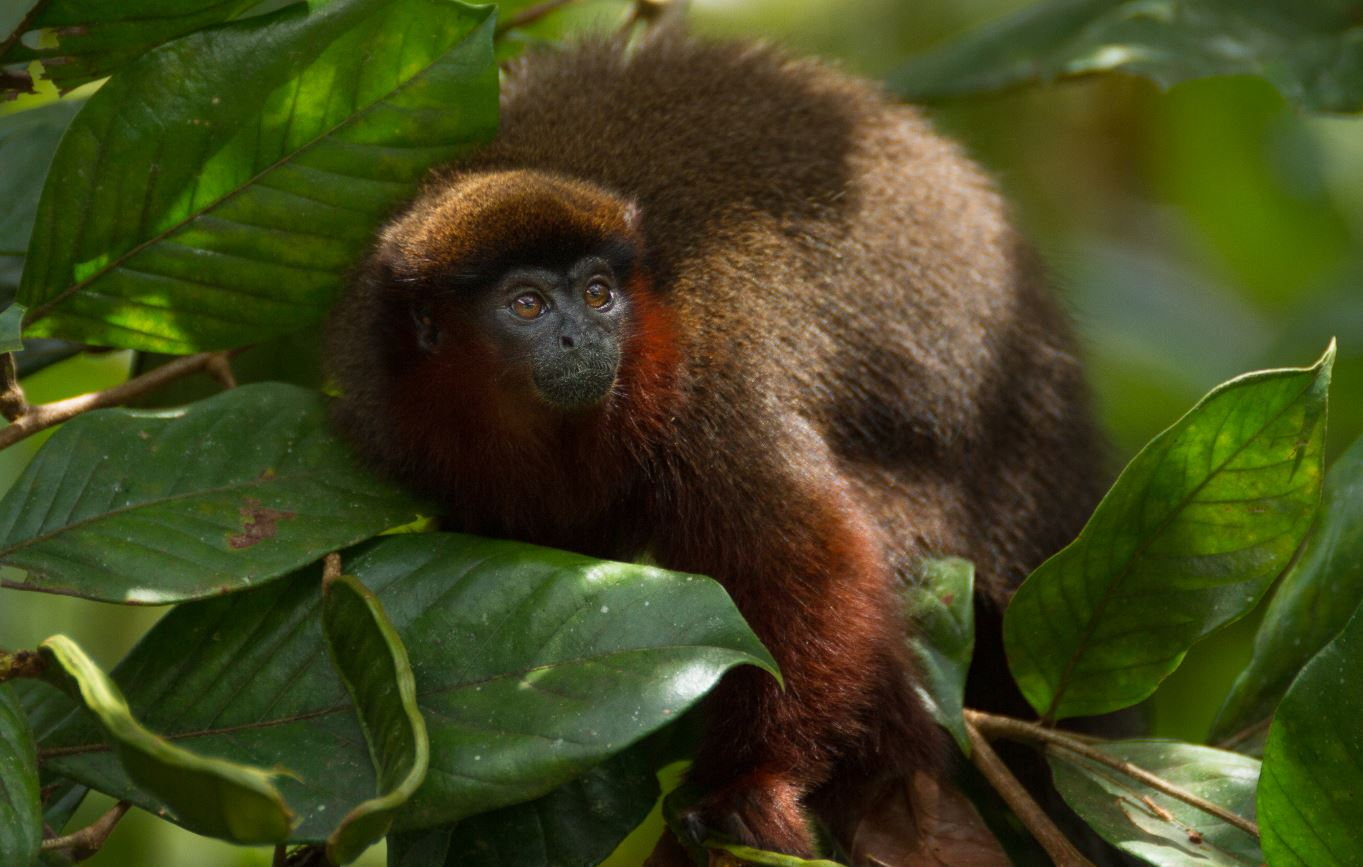 Un ejemplar de tití cobrizo en la Amazonía